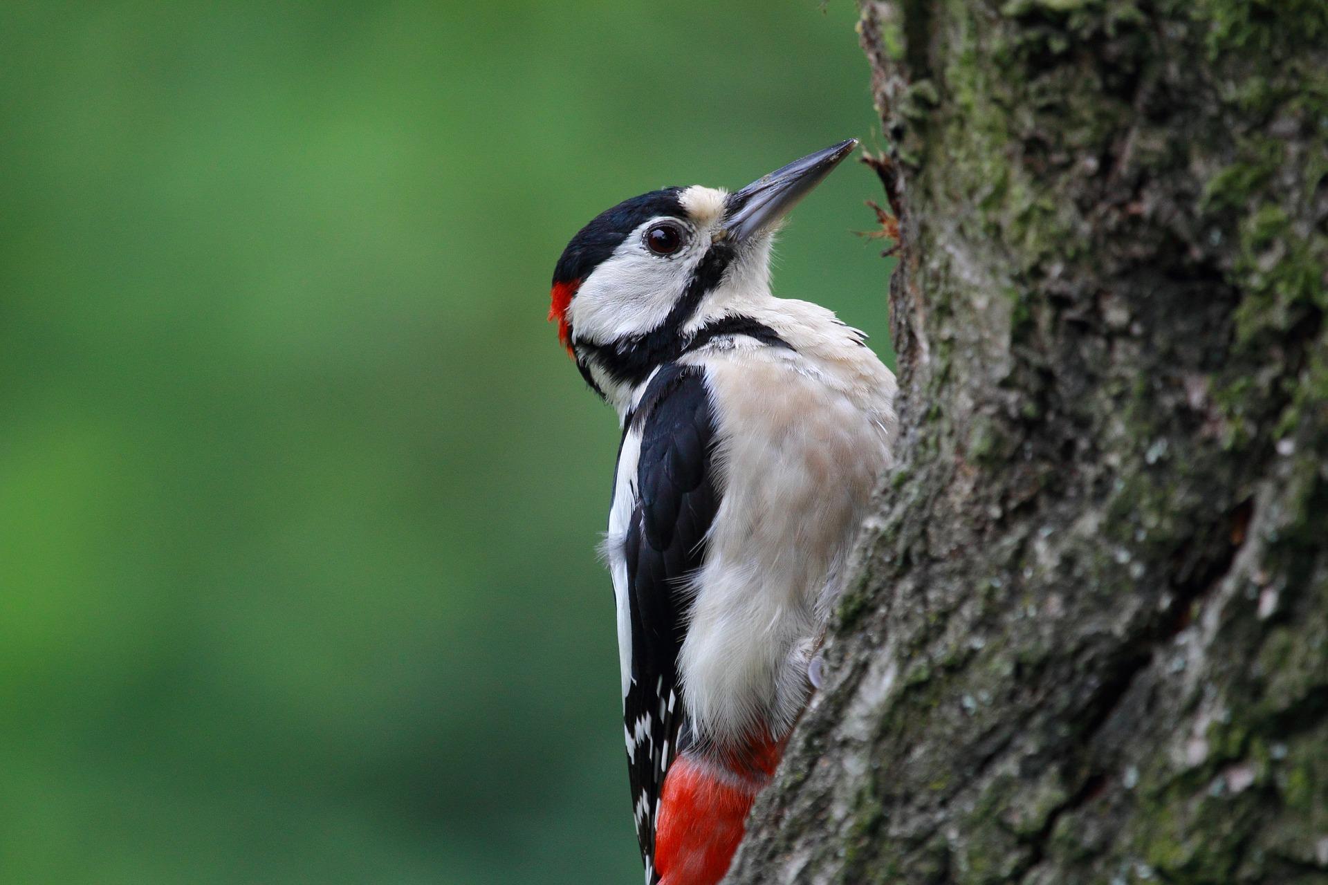 Pic-Epeiche sur un arbre