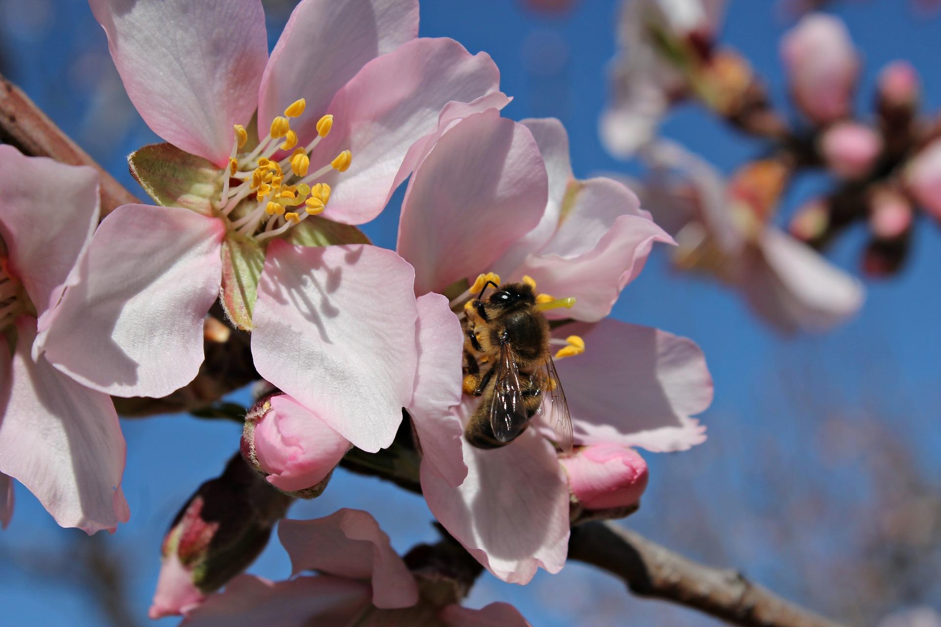 Abeille entrain de polliniser - coopération