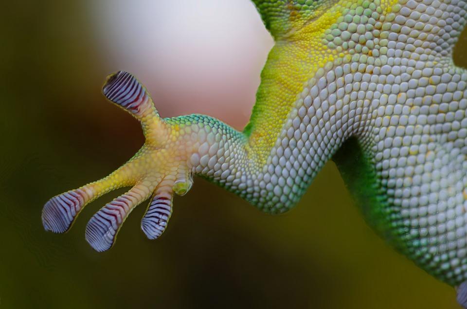 Patte adhérente du Gecko - biomimétisme